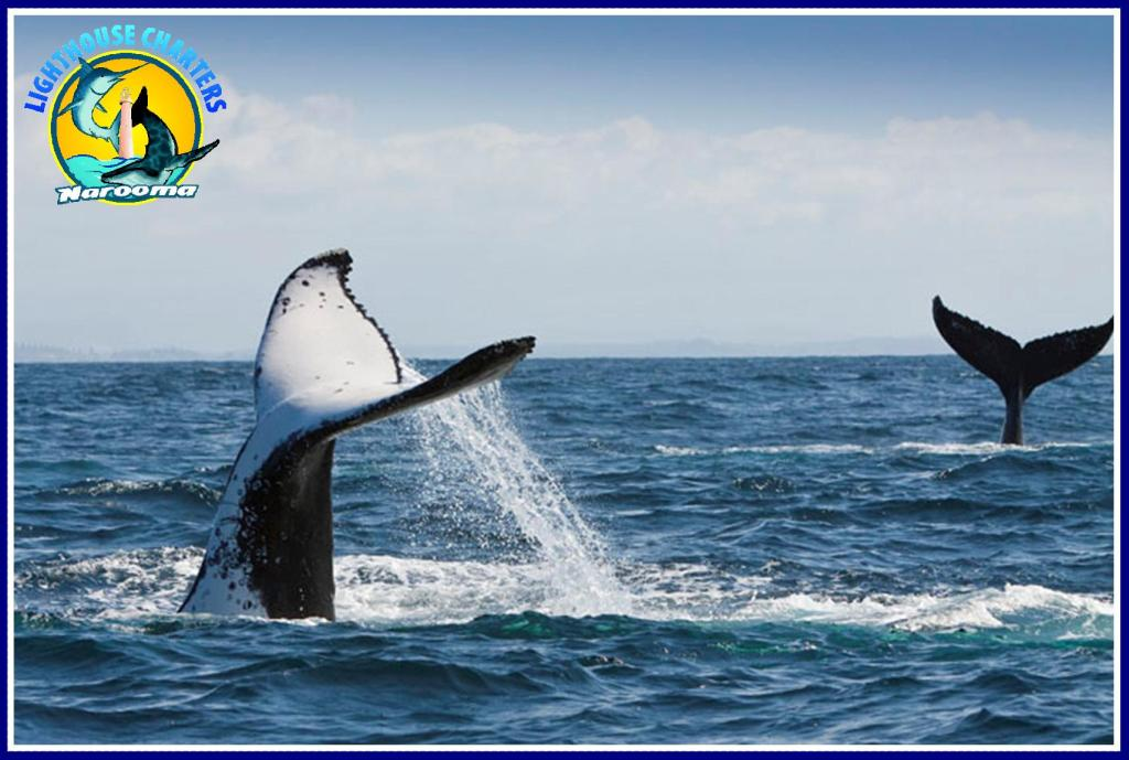 Whale Watching with Lighthouse Charters Narooma